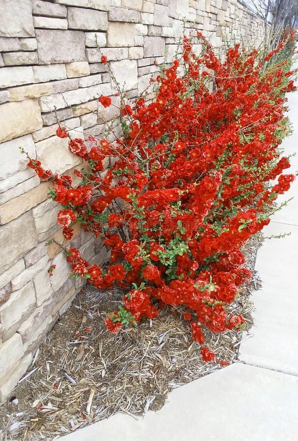 Fiori rossi del marciapiede dalla parete della roccia immagini stock libere da diritti