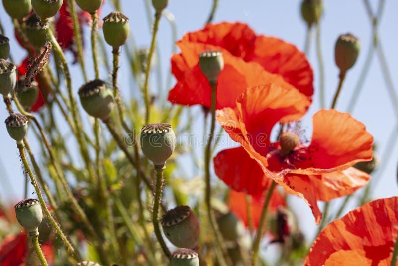 Fiori rossi del papavero nelle capsule del papavero e della fioritura Priorit? bassa del cielo blu Fuoco selettivo Droga, oppio,  fotografia stock