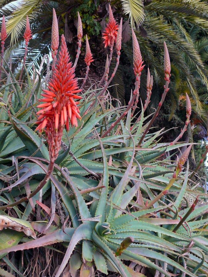 Fiori rossi dell'agave nel Marocco fotografia stock