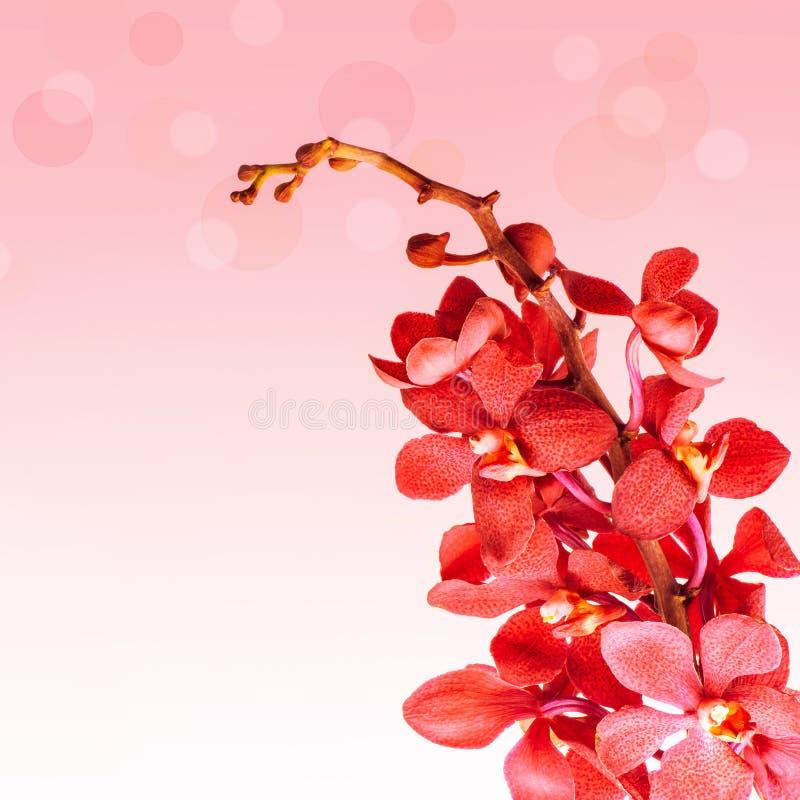 Fiori rossi dell'orchidea immagini stock libere da diritti