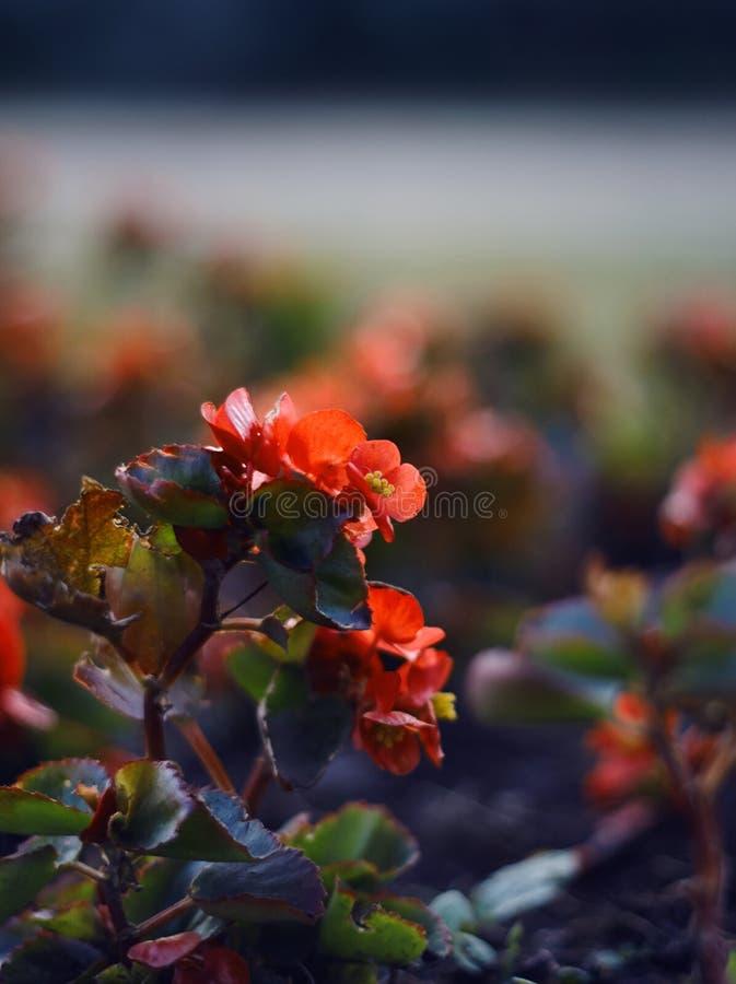 Fiori rossi della begonia su un letto di fiore immagine stock