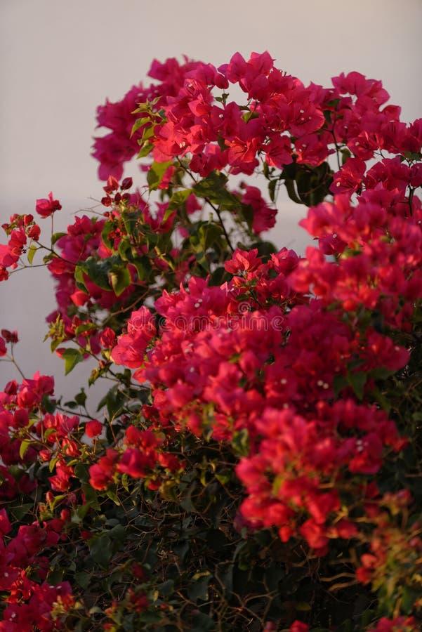 Fiori rossi della buganvillea fotografia stock