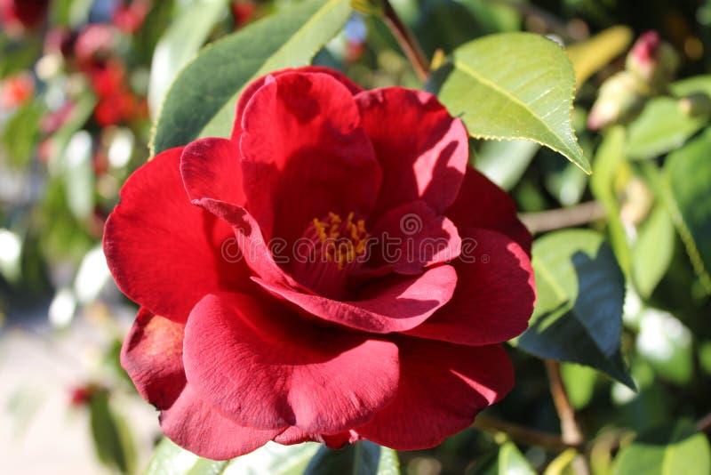 Fiori rossi della camelia fotografie stock libere da diritti
