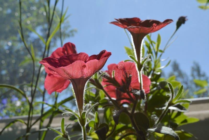 Fiori rossi della petunia nell'inverdimento del balcone summertime immagini stock