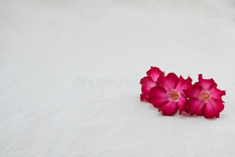 Fiori rossi della rosa del deserto sul tessuto della mussola fotografie stock libere da diritti