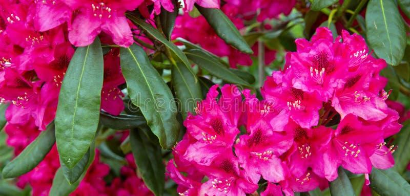 Fiori rossi delle azalee fotografie stock libere da diritti