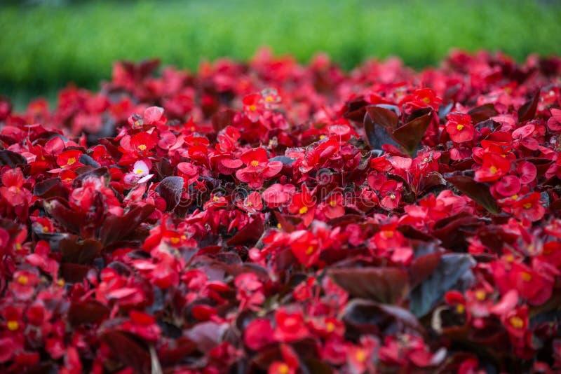 Fiori rossi delle azalee che si siedono nel giardino fotografia stock