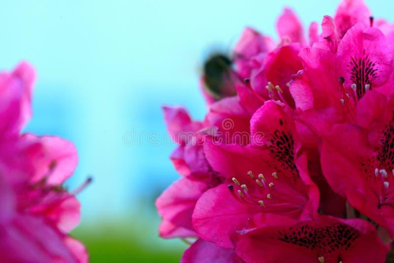 Fiori rossi delle azalee nel giardino Priorit? bassa della sorgente fotografia stock
