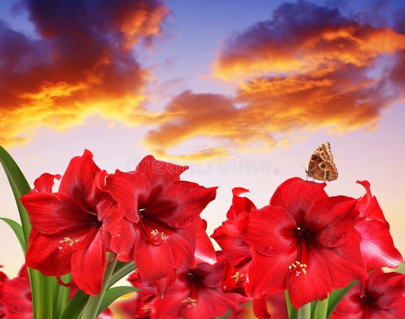 Fiori rossi di Amaryllis con la farfalla fotografia stock libera da diritti