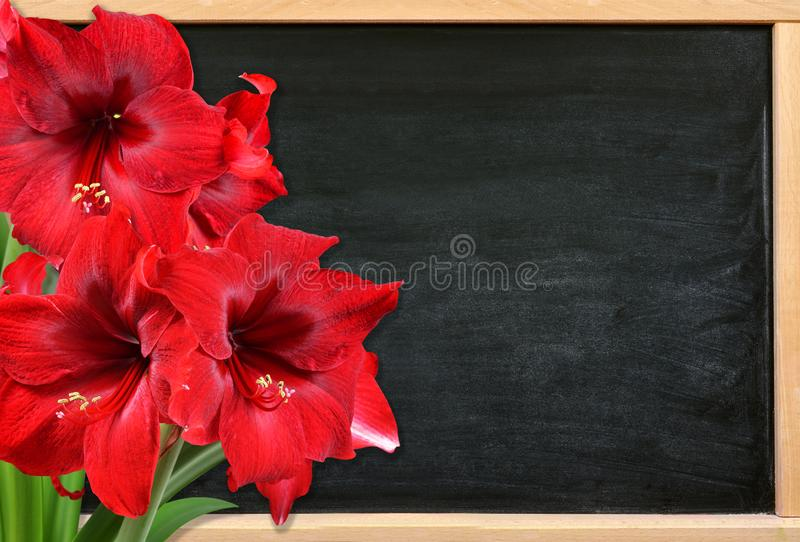Fiori rossi di Amaryllis sullo scrittorio di legno fotografia stock libera da diritti