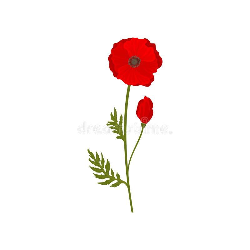 Fiori rossi di fioritura luminosi del papavero con il gambo e foglie, illustrazione botanica di vettore di simbolo su un fondo bi royalty illustrazione gratis
