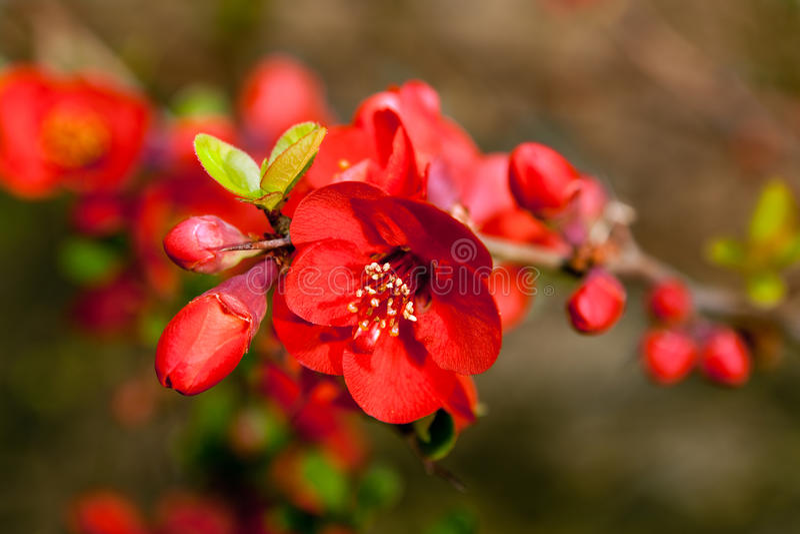 Fiori rossi di primavera fotografia stock immagine di for Pianta con fiori rossi