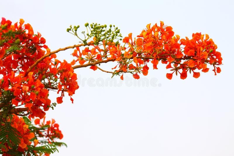 Fiori rossi di un albero ardente fotografia stock libera da diritti