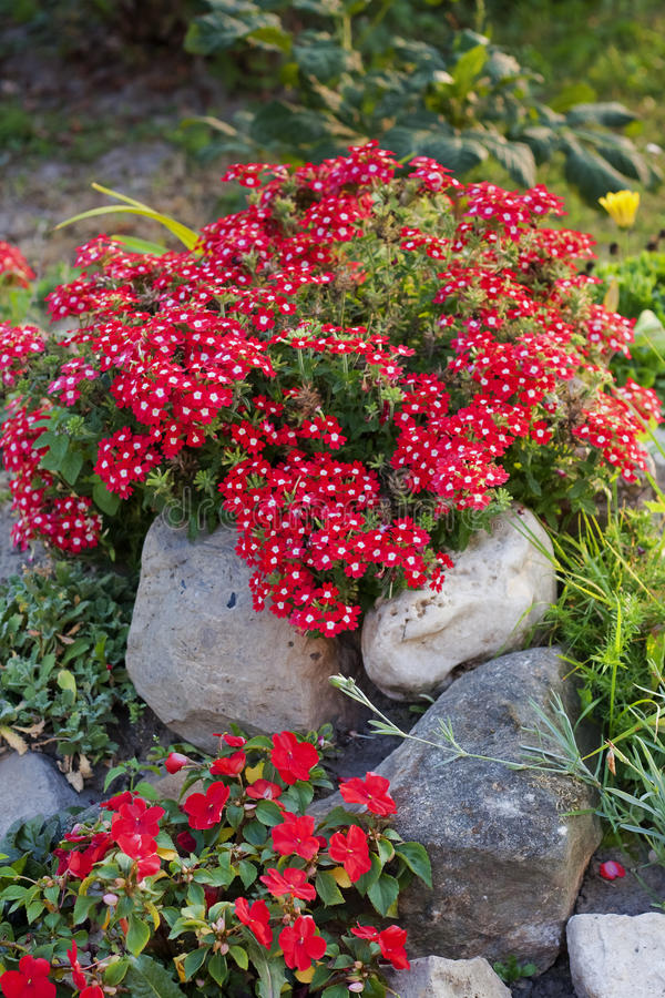 Fiori rossi di verbena e del balsamina fra le pietre in giardino immagini stock libere da diritti