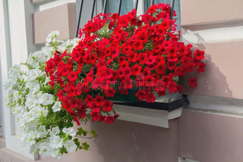 Fiori rossi e bianchi nel vaso e nel fiore fotografie stock