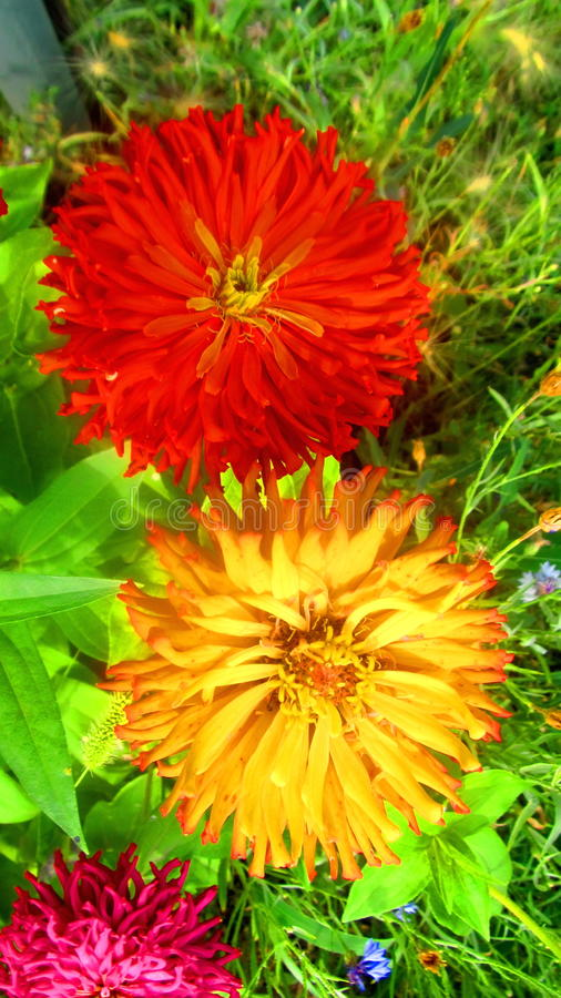 Fiori rossi e gialli fotografia stock