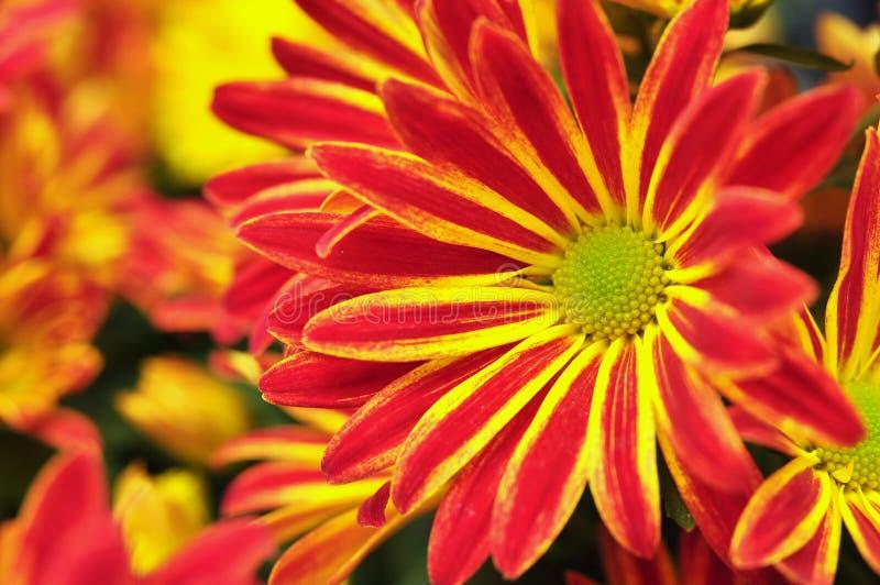 Fiori rossi ed arancioni del crisantemo immagini stock