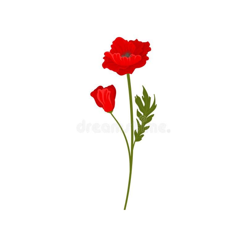Fiori rossi luminosi del papavero con il gambo, illustrazione di vettore dell'elemento di progettazione floreale su un fondo bian royalty illustrazione gratis
