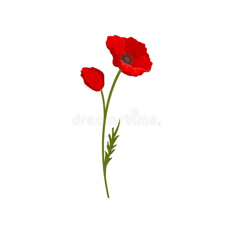 Fiori rossi luminosi di fioritura del papavero con il gambo, illustrazione di vettore dell'elemento di progettazione floreale su  illustrazione di stock