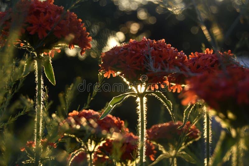 Fiori rossi sotto il sole di sera immagini stock libere da diritti