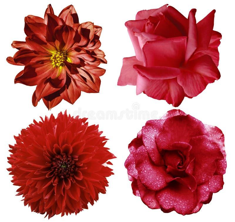Fiori rossi stabiliti Le rose e la dalia luminose dei fiori su un bianco hanno isolato il fondo con il percorso di ritaglio close immagini stock libere da diritti