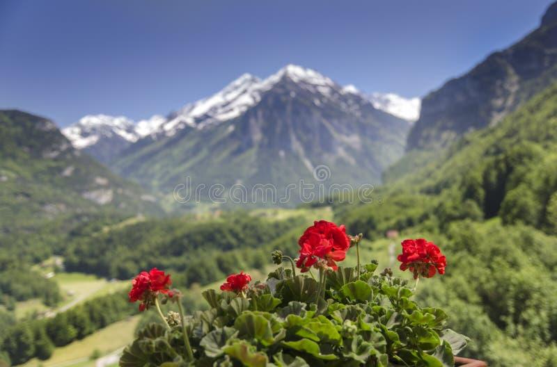Fiori rossi sul fondo innevato dei picchi Alpi svizzere fotografia stock libera da diritti