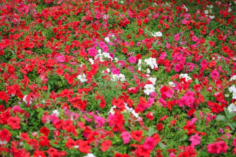 Fiori rossi, viola e bianchi fotografia stock libera da diritti