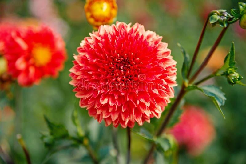 Fiori sboccianti con i petali rossi Fiore della dalia su sfondo naturale vago Fiori della dalia in giardino verde nave fotografia stock libera da diritti