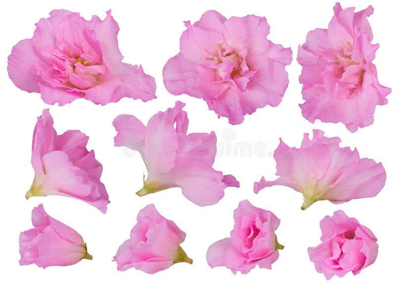 Fiori sboccianti rosa dell'azalea isolati su un fondo bianco immagine stock libera da diritti