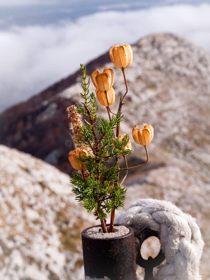 Fiori secchi che stanno sulle montagne di Biokovo La Croazia, Europa fotografia stock libera da diritti