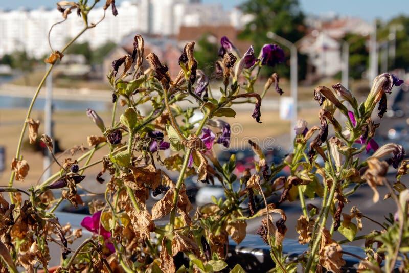 Fiori secchi della petunia sui precedenti della città, estate calda fotografie stock libere da diritti