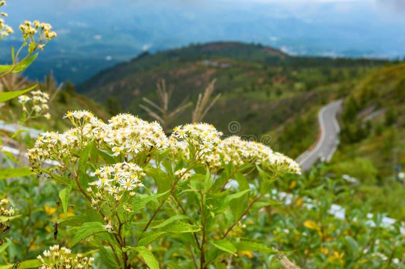 Fiori selvaggi bianchi con la strada ventosa della montagna sui precedenti immagini stock