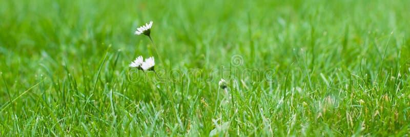 Fiori selvaggi bianchi della camomilla piccoli su un fondo di erba verde immagine stock