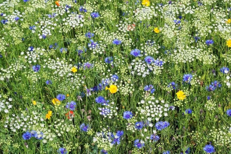 Fiori selvaggi Bianco, blu e giallo immagini stock