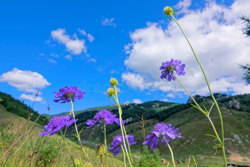 Fiori selvaggi blu fotografia stock