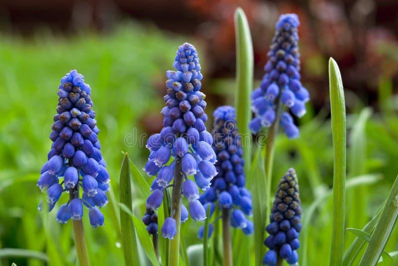 Fiori selvaggi della macro molla blu profonda fresca fotografia stock libera da diritti