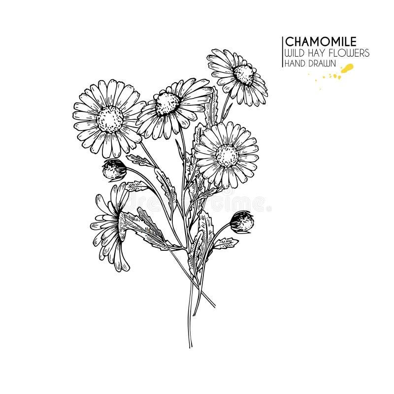 Fiori selvaggi disegnati a mano del fieno Fiore della margherita o della camomilla Arte incisa annata Illustrazione botanica Buon illustrazione vettoriale