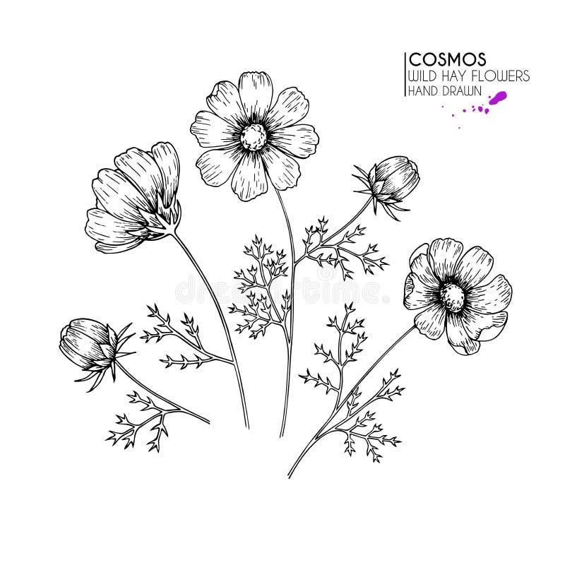 Fiori selvaggi disegnati a mano del fieno Universo o fiore di cosmea Arte incisa annata Illustrazione botanica Buon per i cosmeti illustrazione di stock