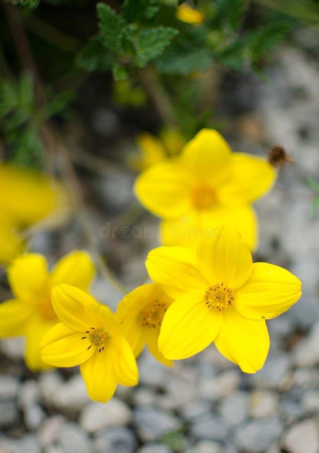 Fiori selvaggi gialli al mercato dell'agricoltore di Redmond immagine stock