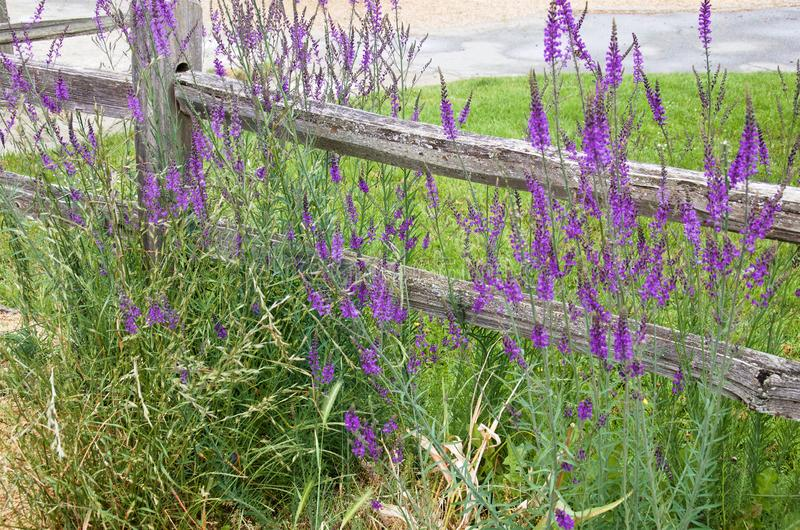 Fiori selvaggi porpora accanto ad un vecchio recinto di legno immagine stock libera da diritti
