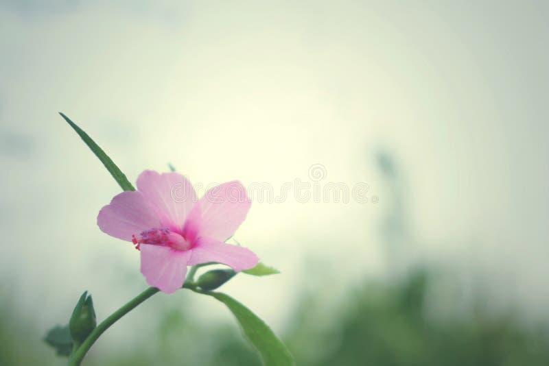 Fiori selvaggi rosa del fondo d'annata, natura bella, piante della natura fotografia stock libera da diritti