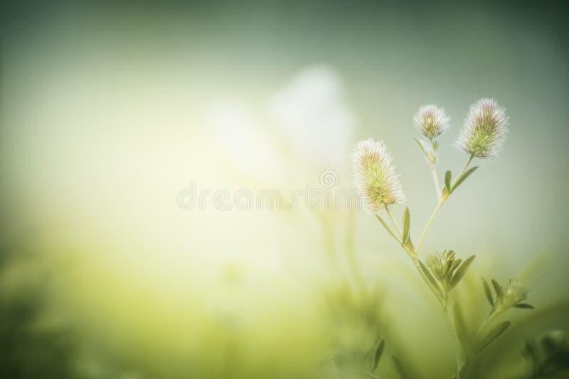 Fiori selvaggi sul fondo nebbioso della natura di mattina Arvense del trifoglio immagini stock libere da diritti
