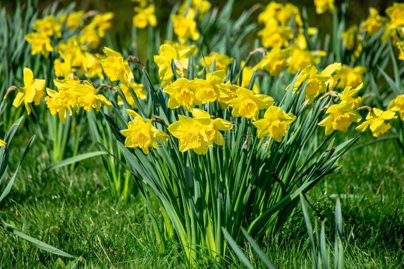 Fiori selvaggi vibranti gialli del narciso della primavera fotografie stock libere da diritti