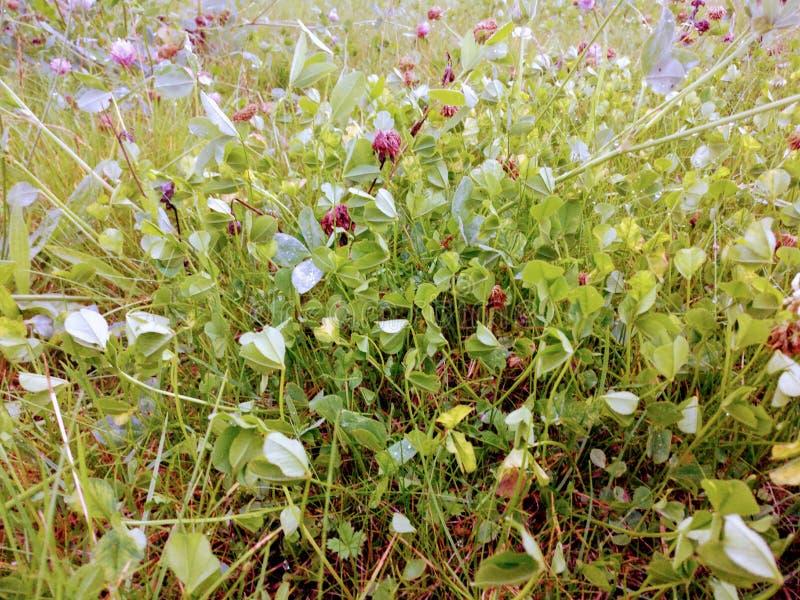 Fiori soleggiati verde intenso del trifoglio e dell'erba fotografie stock libere da diritti