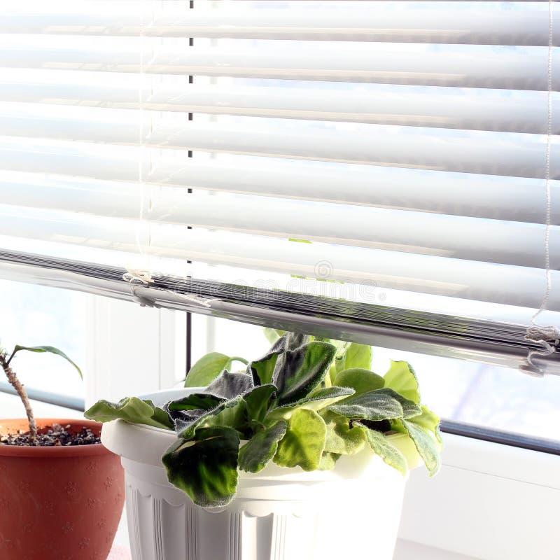 Fiori sulla finestra viole fotografie stock