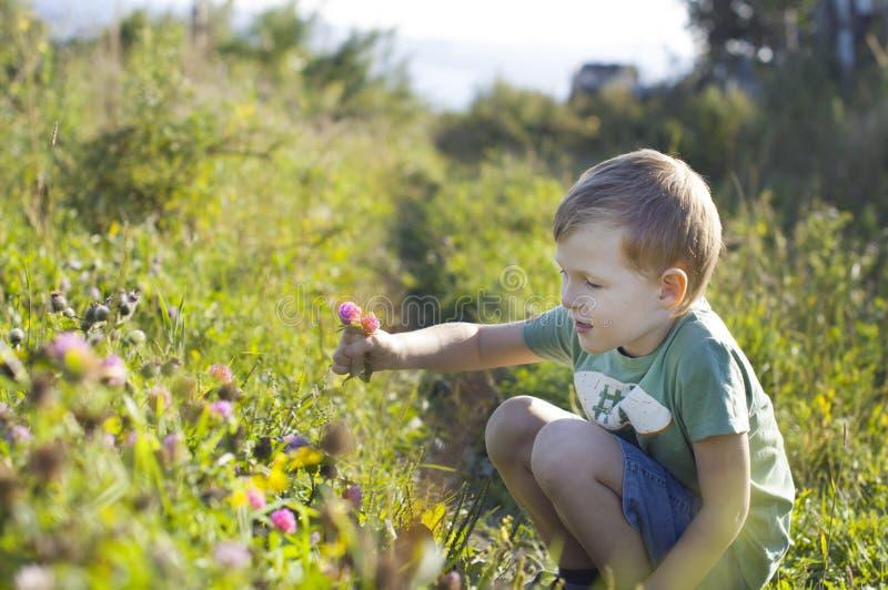 Fiori svegli del trifoglio di raccolto del ragazzino fotografia stock