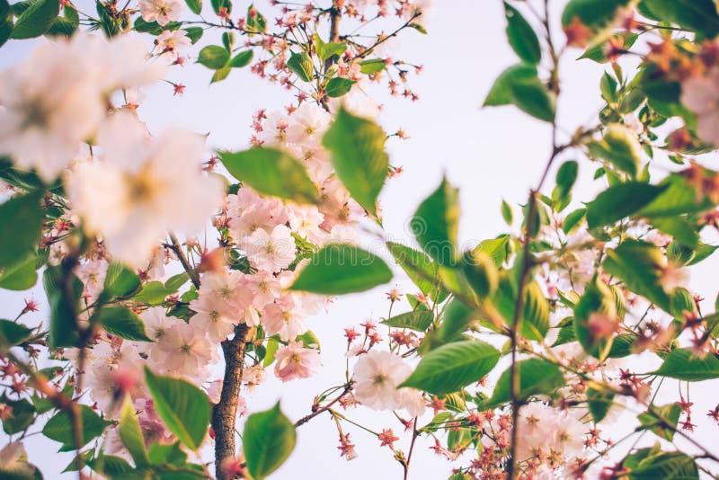 fiori teneri dell'albero di albicocca in primavera immagine stock libera da diritti