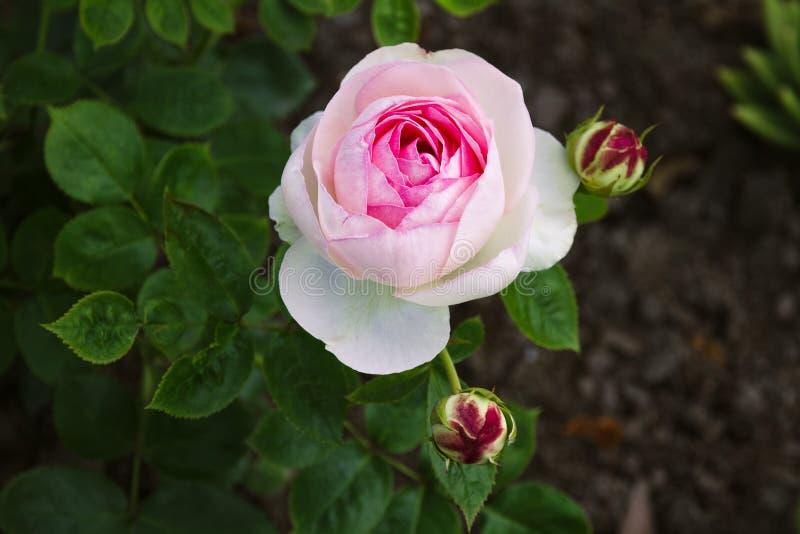 Fiori tre germogli della rosa di rosa che interrompono fioritura fotografie stock