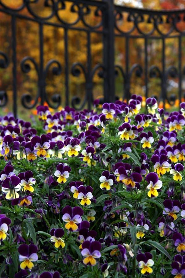Fiori tricolori della viola fotografia stock