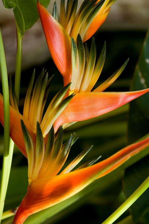 Fiori tropicali fotografia stock libera da diritti